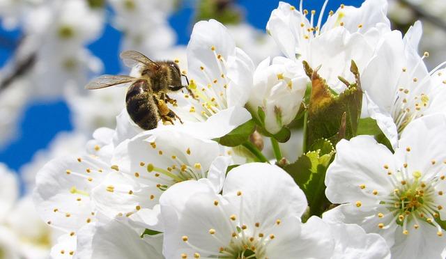 včelka na květech